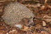 Hedgehog In Foliage