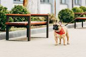 Adorable And Leashed Purebred French Bulldog Standing Near Wooden Benches poster