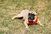 Purebred French Bulldog Wearing Red Scarf And Lying On Green Grass poster