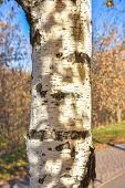 Closeup Of A Birch Trunk, Tree Trunk, Birch Trunk, Birch Bark poster