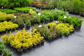 Young Spirea Plants In Plastic Pots, Seedling Of Trees, Bushes, Plants At Plant Nursery. poster