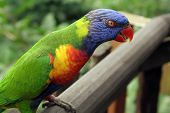 foto of polly  - Colourful lory standing on a wooden ledge  - JPG