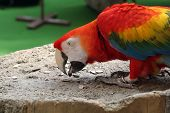 foto of polly  - Multi colored parrot busy eating sunflower seeds - JPG