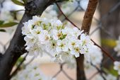 Fruit Tree. Flowers on a Fruit Tree. Apple Tree Flowers. Peach Tree Flowers.   poster