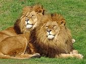 The African Lion (lat. Panthera Leo). Male Lions Have A Large Mane Of Thick Hair Up To 40 Cm. Brothe poster