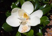 Close-up Of White Flower Of Magnolia Grandiflora With Its Pistols / The Magnolia Grandiflora Is An O poster