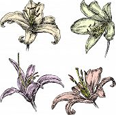 Lilies.eps