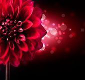 Dahlia Autumn flower design.Red Flower Over black