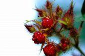 Red Raspberry