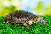 stock photo of terrapin turtle  - red ear turtle on grass on bright background - JPG
