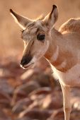 Pronghorn Antelope Leaning Forward