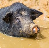 stock photo of pot bellied pig  - vietnam pig - JPG