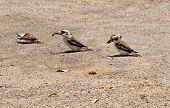 stock photo of kookaburra  - Kookaburras Australian native bird wildlife feeding on ground - JPG