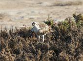 Large Osprey Bird Stood In Bushes