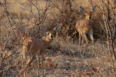 Two Steenbok (raphicerus Campestris)