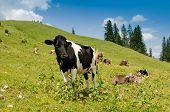 Black And White Checked Cow On A Green Meadow