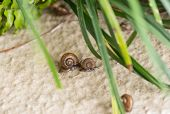 Garden Snails With Operculums Racing After Rain. Operculum Is The Calcareous Lid That Attached On To