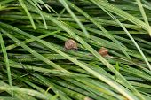 Garden Snails With Operculums Sliding On Grasses After Rain