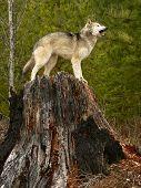 Howling Wolf On Tree Stump