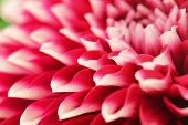picture of bud  - abstract photo of pink dahlia flower closeup - JPG
