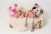 stock photo of cows  - Sleeping fraternal twin newborn baby girls wearing crocheted pig and cow hats - JPG