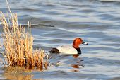 duck on the river (aythya ferina)