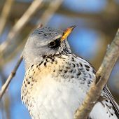 thrush on branch in winter (Turdus Obscurus)