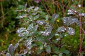 Raindrops On The Leaves Of Bog Whortleberry