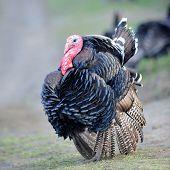 farm male turkey outdoor