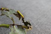 antheraea pernyi caterpillar