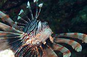 impressive Lionfish