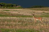 Deer in Prairie