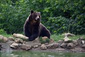 stock photo of bear  - A wild Brown bear rest near a pool into the wild forest of Bucegi mountains - JPG