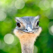 curious ostrich portrait