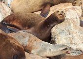 California Sea Lions At Monterey Bay
