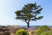 Cyrpus Tree Lines Path To Monterey Bay