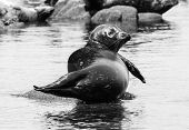 Harbor Seal In Black And White