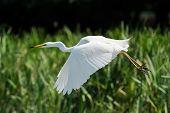big white egret (egretta garzetta)