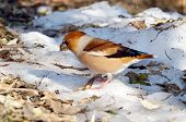 grosbeak in natural habitat (coccothraustes coccothraustes)