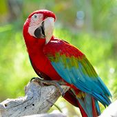 stock photo of green-winged macaw  - macaw sitting on branch - JPG