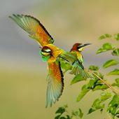Abelharuco (Merops Apiaster) ao ar livre