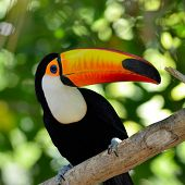 stock photo of cheeky  - toucan outdoor  - JPG