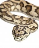 stock photo of burmese pythons  - carpet python  - JPG