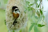 penduline tit on the nest (remiz pendulinus)