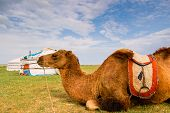 foto of yurt  - Camel lying in front of yurt  - JPG