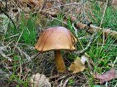 Mushrooms Xerocomus
