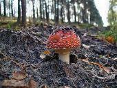Toxic Mushroom Amanita