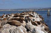 Sea Lions; Monterey; California