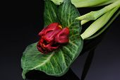 Red Tulip On A Black Background