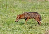 picture of jackal  - Golden Jackal Canis aureus mammal in thailand